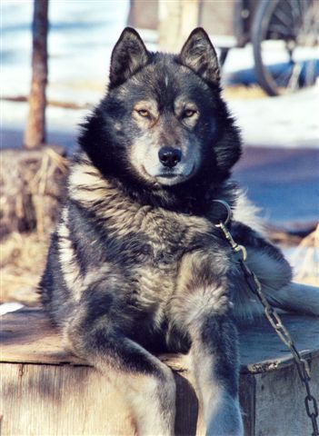 Wolf/German Shepherd Hybrid. Wolf dogs are so amazing and beautiful. I want one! :)