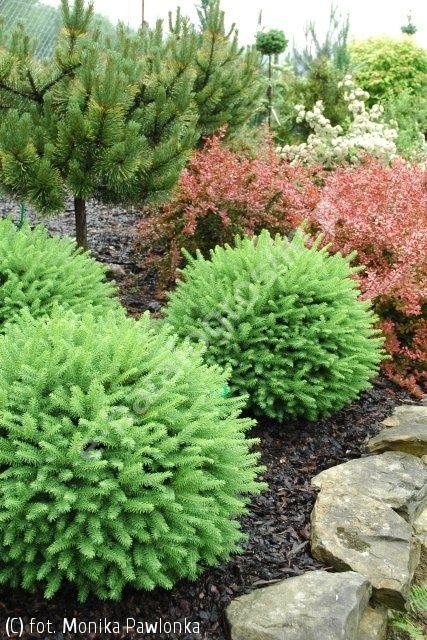 świerk pospolity 'Goblin' - Picea abies 'Goblin' | Katalog roślin - e-katalog roślin