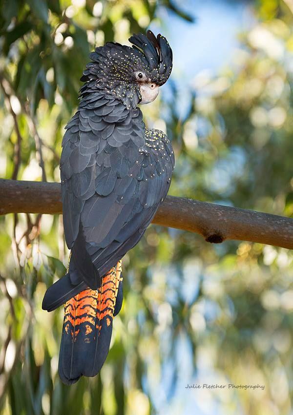 Black Cockatoo. Thanks to Julie Fletcher Photography. (FB)
