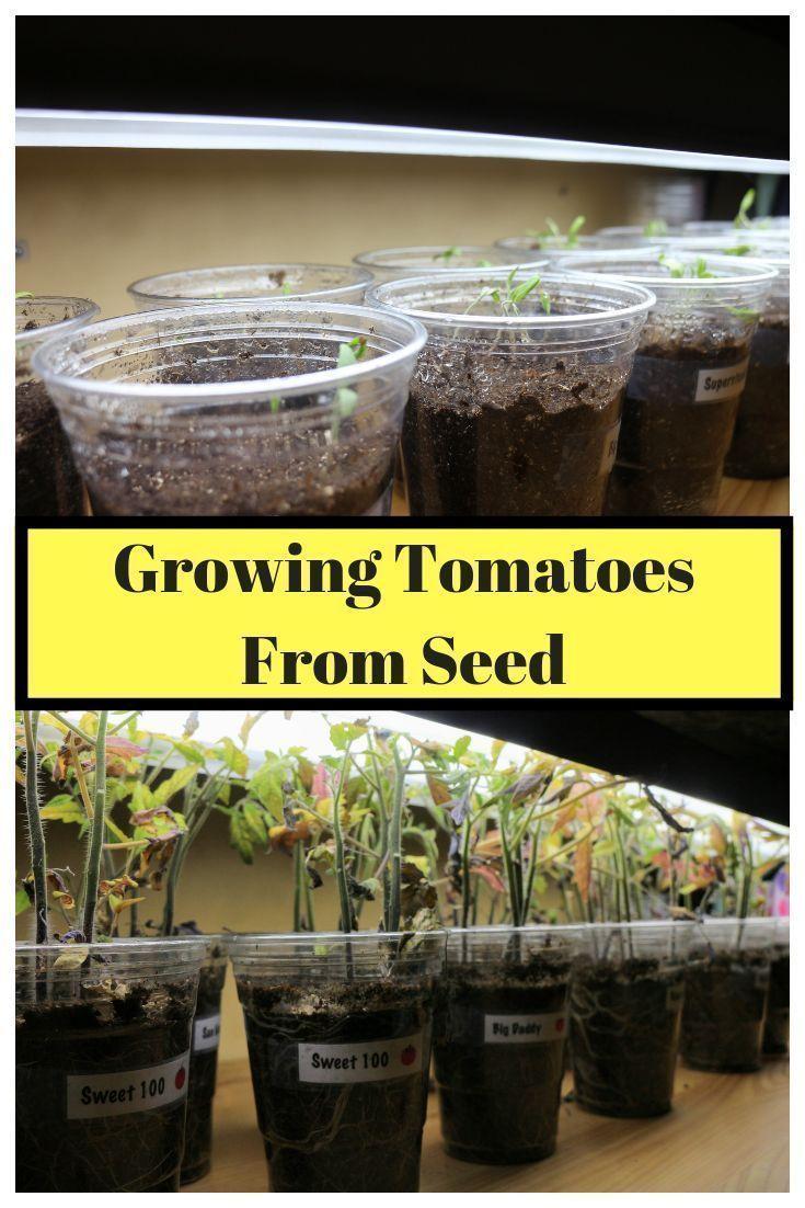 Starting Tomato Seeds Indoors Growing Tomato Plants Growing