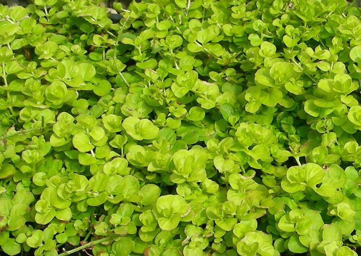 Creeping Jenny Ground Cover Plants Pinterest