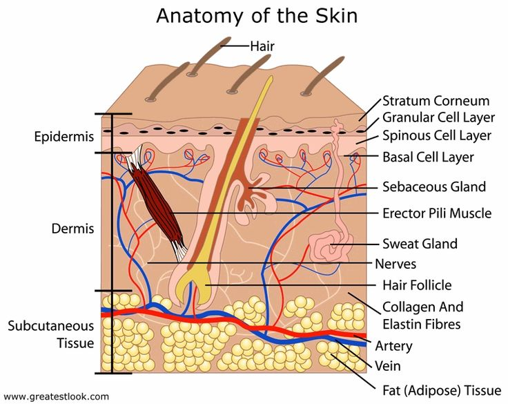 skin anatomy - Pesquisa Google