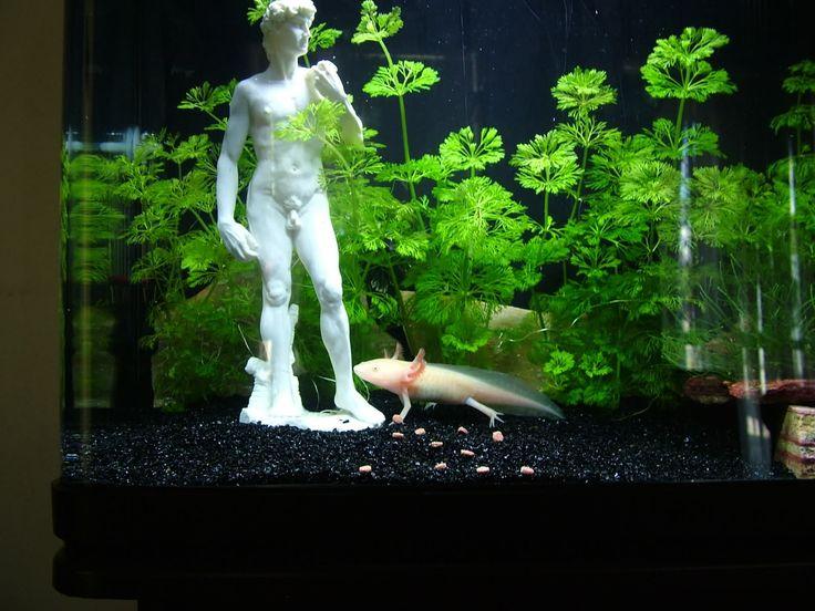Axolotl tank. Wtf is with the naked dude??? | Fish and aquariums | Pinterest | Axolotl tank ...
