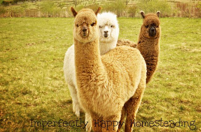 17 Best Ideas About Alpacas On Pinterest Alpaca Funny