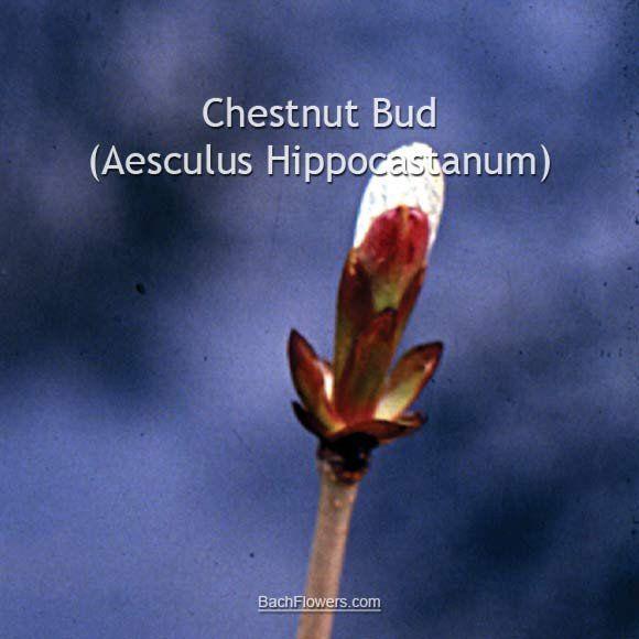 Chestnut Bud 20 ml