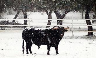 REDES La nieve deja bellas estampas  Estampas de la #Nevadataurina - Mundotoro.com #RedesSociales #nieve #fotografias #fotos #toros