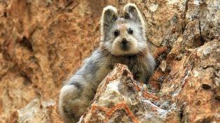 «Verdens søteste dyr» kan snart være borte
