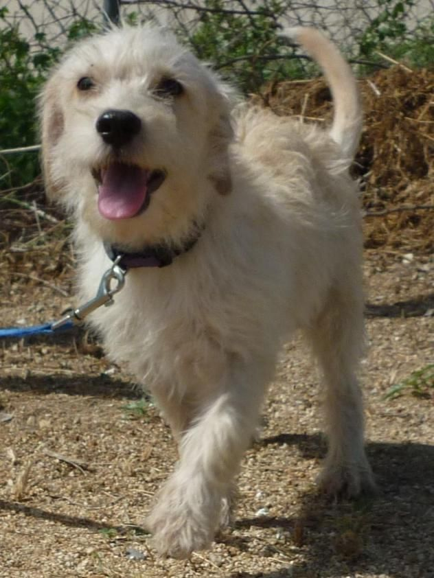 Los Cabos Humane Society; Cabo San Lucas, BCS. SMILEY!!! <3 • AVAILABLE FOR ADOPTION ON OCTOBER 3RD 2016! Terrier X • Young • Male • Small.
