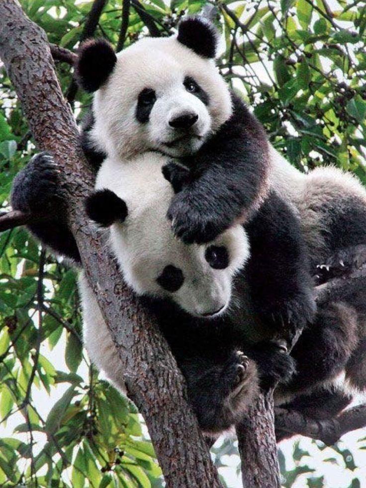 panda rot