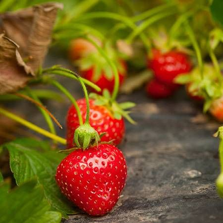 Everbearing Strawberry for Sale