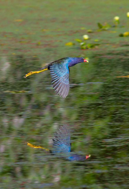 frango-d'água-azul (Porphyrio martinicus) por Daniel Mello | Wiki Aves - A Enciclopédia das Aves do Brasil