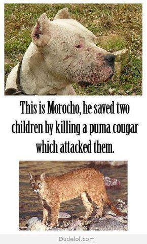 Dogo Argentino (breed) Saved 2 girls from apuma (2008) | American Bully News