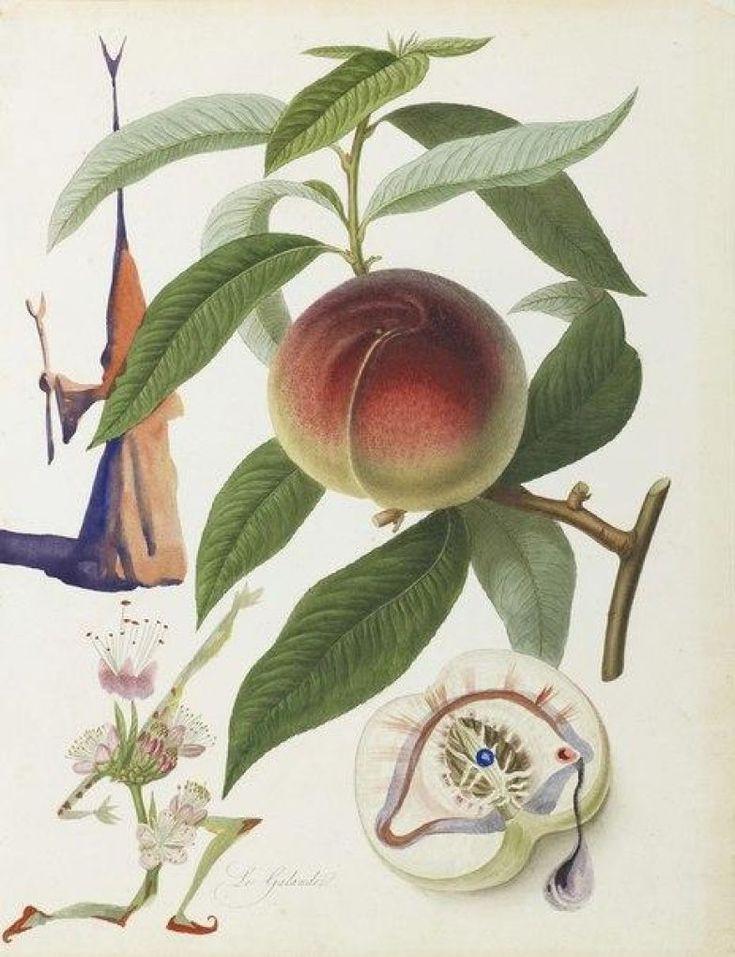 Шнайдер попросил Дали нарисовать что-нибудь интересное по мотивам ботанических иллюстраций XIX века. Результаты просто потрясающие!
