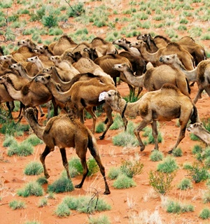 Growing problem: Camel numbers are increasing by up to 80,000 animals a year in remote parts of Australia.