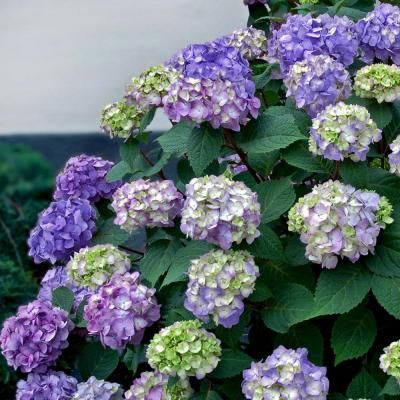 Hydrangea bush that blooms half of the year. 1 gal. Endless Summer Hydrangea BloomStruck-26351 - The Home Depot
