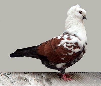 Timisoara Tumbler pigeon.