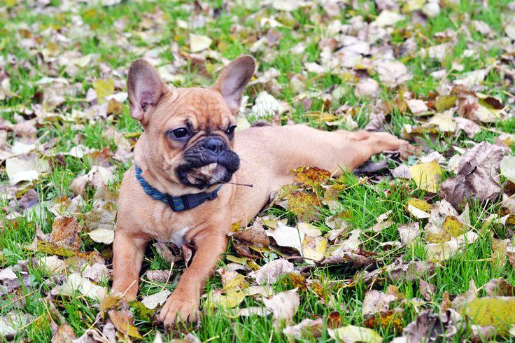 Yummy, leaves! #frenchie #semu #dog #frenchbulldog #braided #collar #puppy