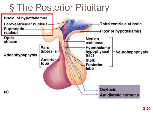 The posterior pituitary gland secretes Oxytocin and Anitdiuretic hormone (ADH). All hormones are produced in the hypothalamus and are transported by the hypothalamo-hypophyseal tract (meaning that is is neural based) to the posterior lobe.