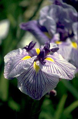 RHS Plant Selector Iris ensata 'Caprician Butterfly' AGM / RHS Gardening