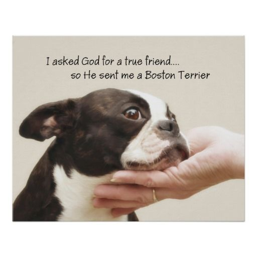Adoring Boston Terrier with I asked God for a true friend so He sent me a Boston Terrier