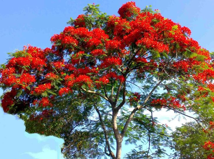 royal poinciana tree pictures   Delonix regia - Royal Poinciana - Gulmohar