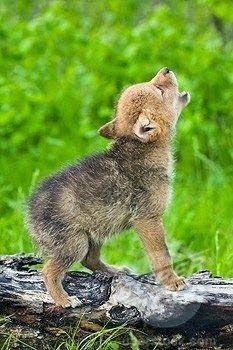 Cute wolf pup