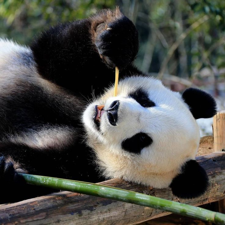 A giant panda eats bamboo in Xiuning Panda Park in Huangshan City, east China's Anhui Province. Credit: Xinhua / Barcroft Images. #GiantPanda #Bamboo #XiuningPandaPark #HuangshanCity #AnhuiProvince #Panda #Telegraph #PicturesOfTheDay