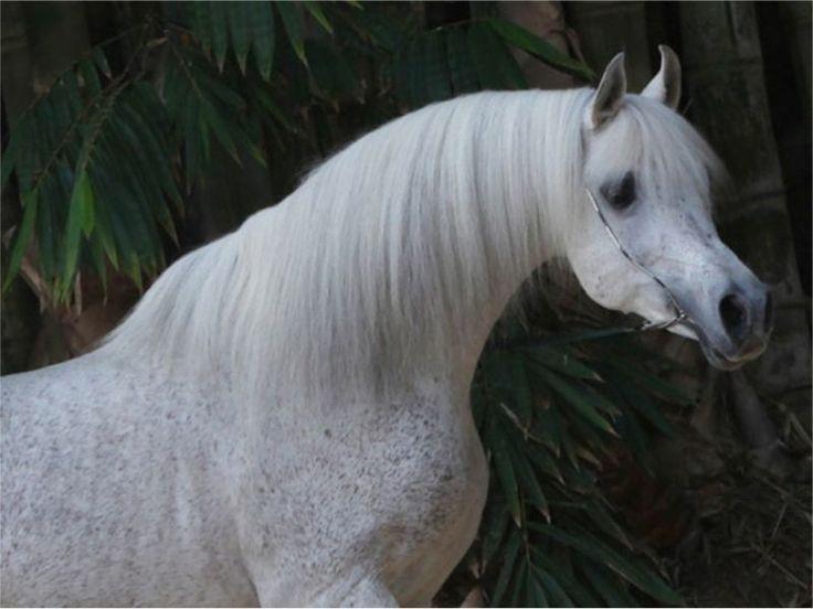 Ludjin El Jamaal (BR) 5.4.1989 Grey Arabian stallion. Ali Jamaal {Ruminaja Ali x Heritage Memory by El Magato} x Lydira El Shaklan {El Shaklan x Lydia by Marpeso} Bred by Lenita Perroy, Haras Meia Lua, near Sao Paolo, Brazil. Sold to Count Federico Zichy Thyssen, ZT Arabians, Argentina. By 1999 Ludjin was no longer ZT Arabians' chief sire, so Ferdinand Huemer was able to buy Ludjin, with Lenita Perroy as his partner. Ludjin returned to Haras Meia Lua in 1999.