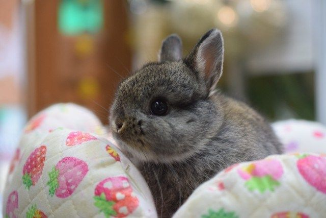 限定にんじん うさ雑貨 Rabbits ラビッツ うさぎブリーダー専門店 大阪 うさぎ 小動物 ウサギ