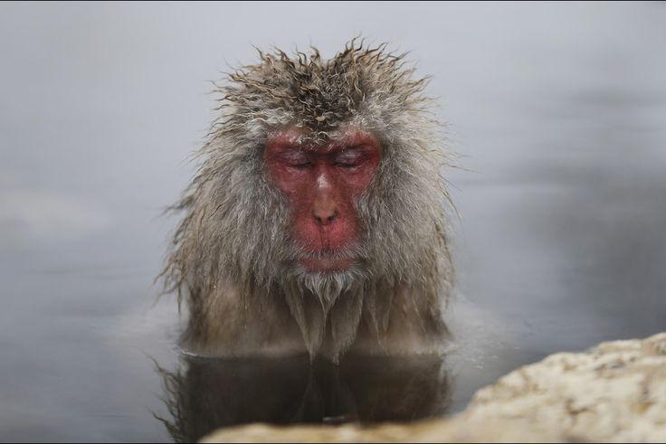 À Yamanouchi, au Japon, des macaques des neiges japonais se protègent du froid dans des sources thermales