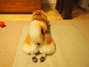 【シバケツ】ハムケツに対抗して柴犬・豆柴のお尻特集♪【画像まとめ】 - NAVER まとめ