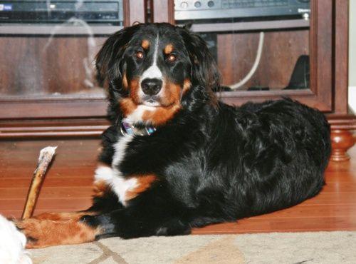 Michigan Bernese Mountain Dog Rescue | Pets | Pinterest ... Bernese Mountain Dog Rescue