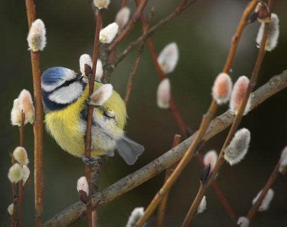 Kevään merkkejä voi näkyä pian luonnossa.