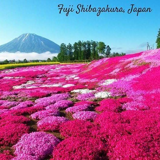 Reposting @theofficial_y: @letsgeauxvacay Something magical happens between mid-April and late May each year: Shibazakura flowers bloom, in carpet-like fashion, at the base of Japan's Mt. Fuji. This is all occasion for the Fuji Shibazakura Festival, where this spectacular display can be enjoyed. Visitors can take in the view, while also enjoying local cuisine, as the Mt. Fuji Delicious Food Festival occurs at the same venue.  #letsgeauxvacay #travel #japan #fujifilm #travelgram #traveling