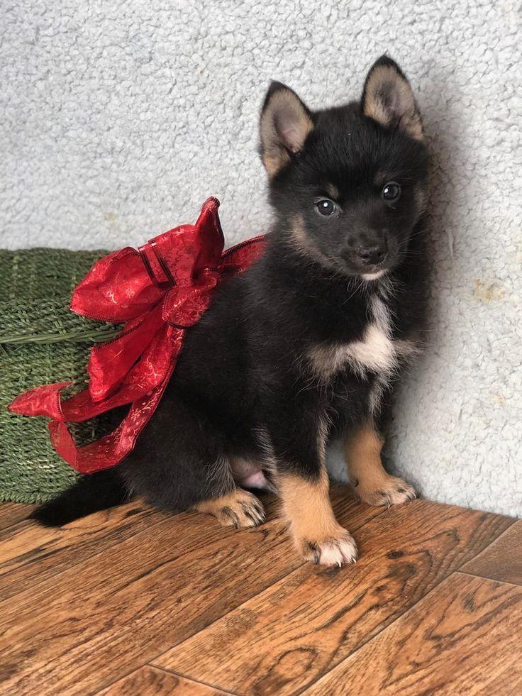 Dale Male Pomsky 500 Pomsky, Pomsky puppies for sale