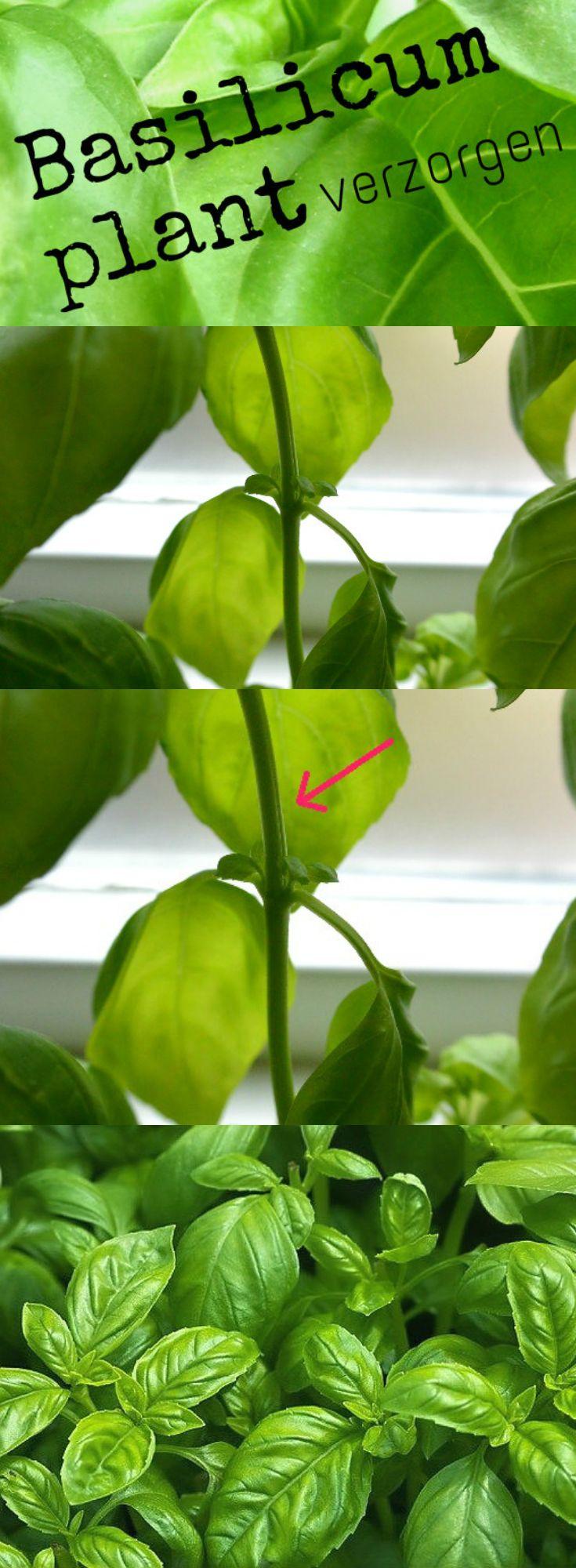 basilicum plant verzorgen en echt laten overleven. Tips op www.simplethoughts.nl