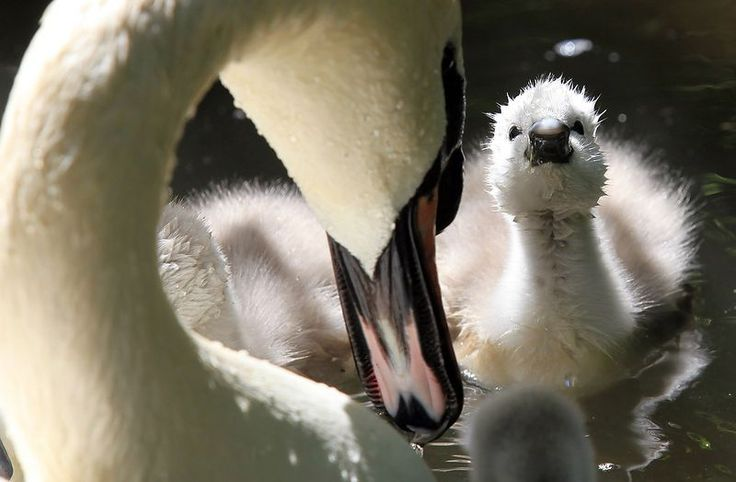 Swans: Mothers Day, Adorable Baby Animal, Life Magazines, Swan, Beauty Creatures, Kids, Animal Stories, Funnies Animal Pics, Birds