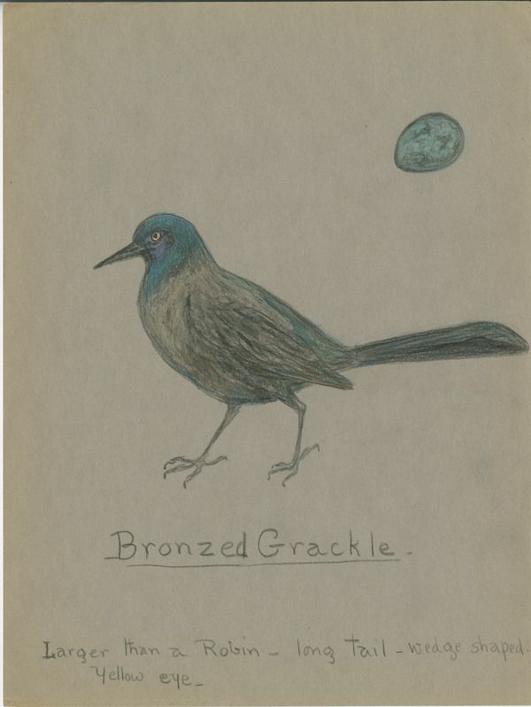 Bronzed Grackle | saskhistoryonline.ca