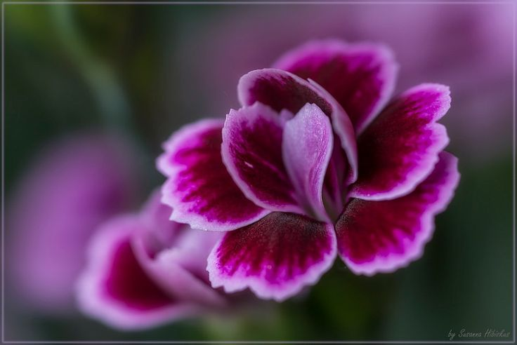 pink flower by Susanna  Hibiskus            Susanna  Hibiskus: Photos                                 #nature #photography