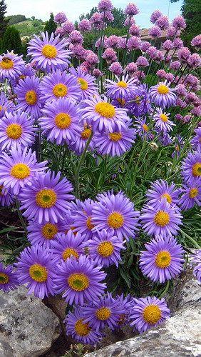 I have Purple Asters in the back yard and they are wonderful! They bloom for at least a month at the end of summer and they really add a splash of bright beautiful color! Sooooo easy to grow!