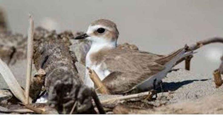 Ambiente Cilento, il fratino sta tornando sulle spiagge Campane Gli uccelli, fratini, stanno tornando a nidificare direttamente sul loro habitat naturale: l'ambiente dunale, in Campania al Sud. Nel Cilento l'associazione ARDEA sta svolgendo uno studio ornitologic #cilento #ambiente #uccelli #natura