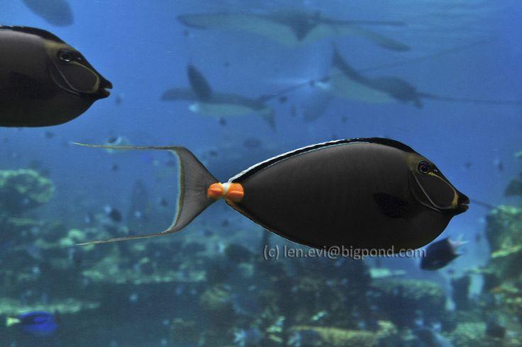 Surgeon Fish courtesy of SeaWorld