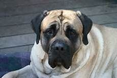 english mastiff - - Yahoo Image Search Results