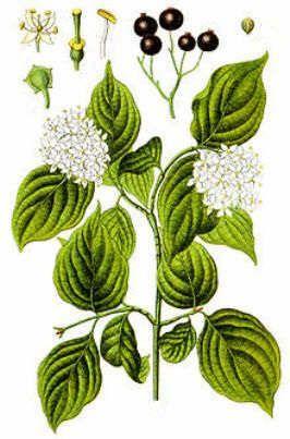 Herbal Medicinal Plants - Dogwood