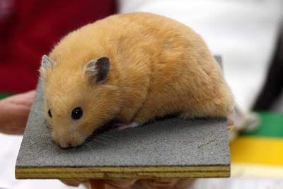 Crème dark-red eyed Syrian Hamster