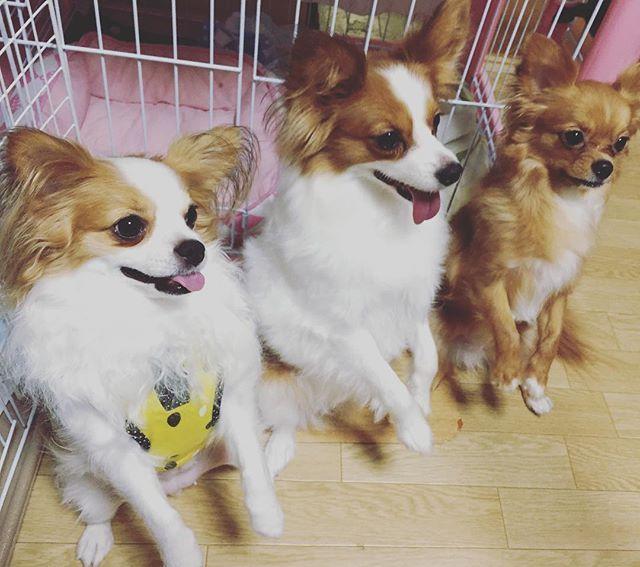 できたー! 3チン🐶 #いぬすたぐらむ #dogstagram #パピヨン #チワワ  #ミックス  #犬  #パピチワ #チワパピ  #スイカ #わんこ #すいか #犬バカ #パピヨンラブ #スムチー  #うちのわんこ #愛犬 #犬バカ #大好きわんこ #chihuahua #Papillon #dog
