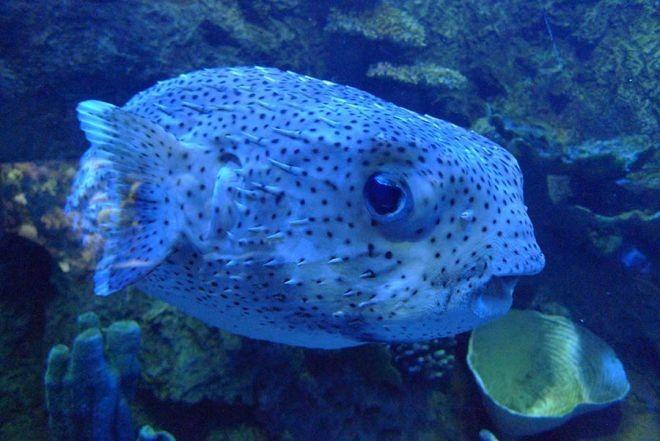14. Иглобрюх или рыба фугу