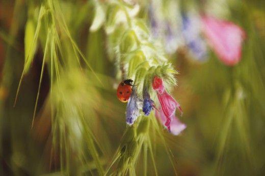 Полезные насекомые в саду  Один из биологических методов естественной защиты растений в саду предполагает использование полезных насекомых в качестве естественных врагов вредных организмов, их изучение и содействие в расселении по саду и жизни в нем. Какие насекомые приносят пользу? Давайте познакомимся с ними чуть ближе.