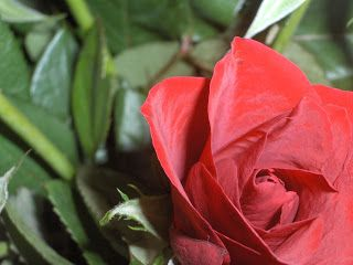Blink News Agency: The Year of the Rose