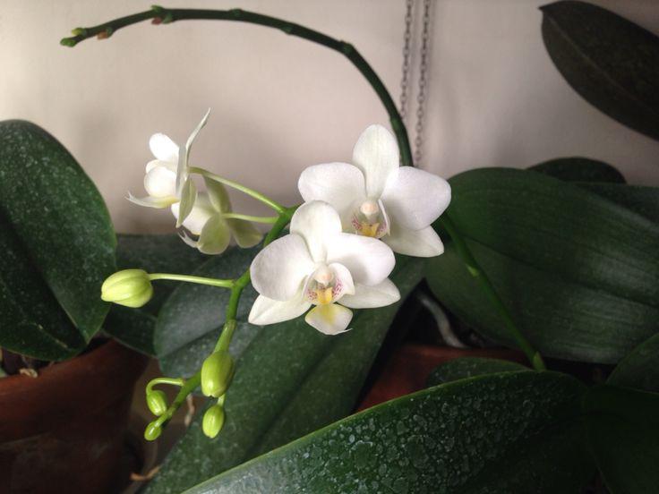 Phalaenopsis mini white